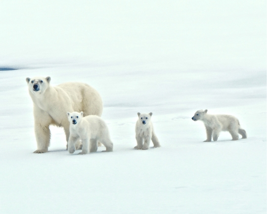 Polar Bear Mother and 3 Cubs